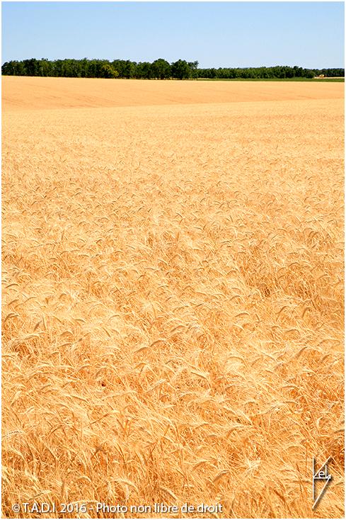 blé plateau de valensole