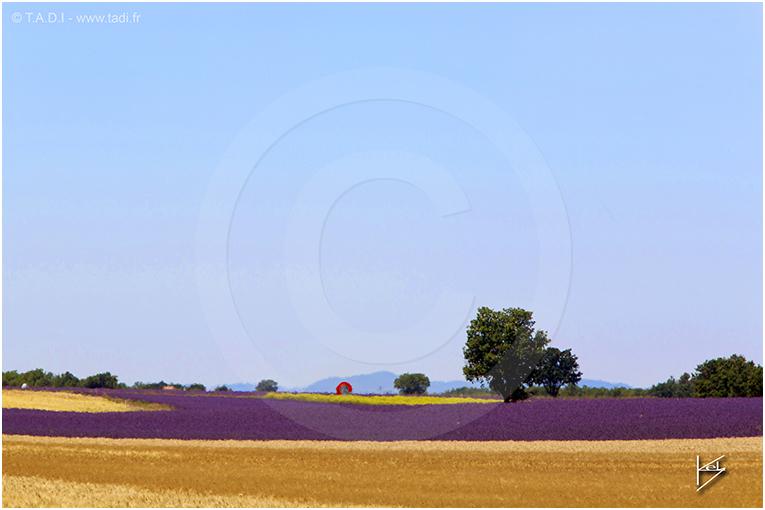 lavande et blé plateau de valensole